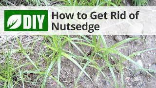 How to Get Rid of Nutsedge