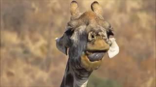 Girafa comendo osso!!!