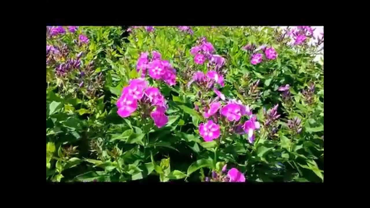 Best perennials phlox laura youtube mightylinksfo