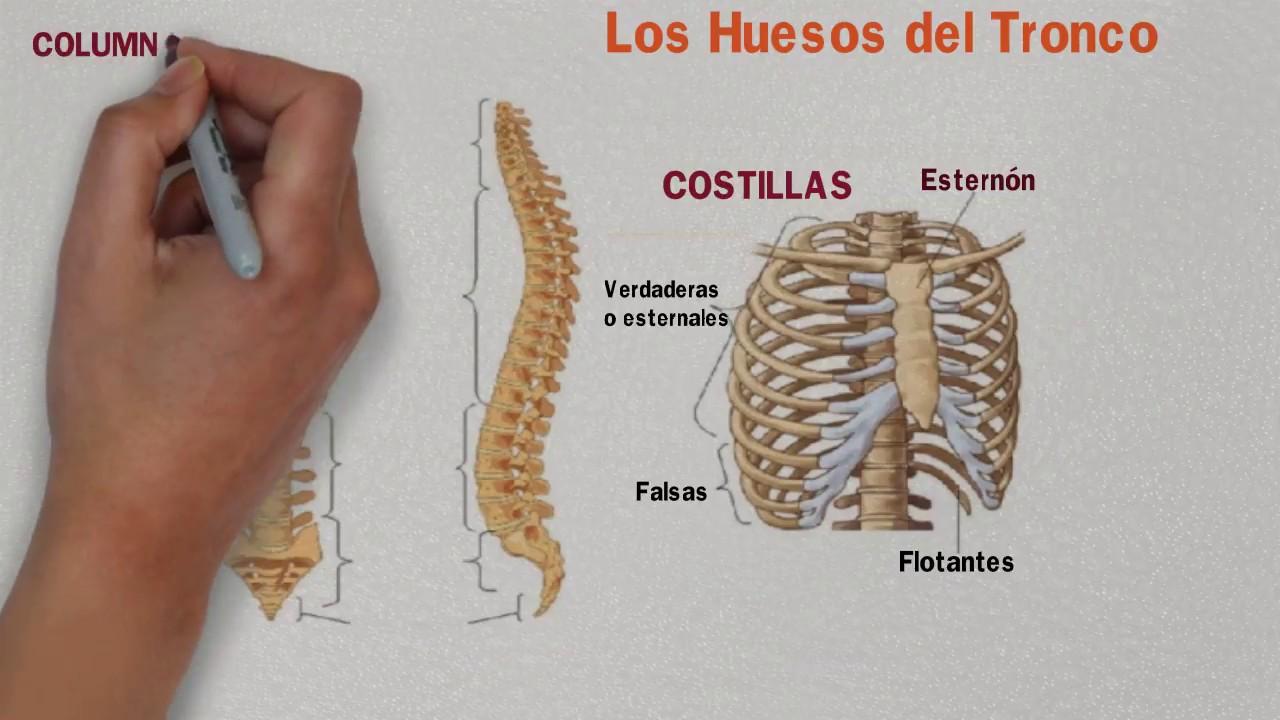 Huesos esternon y costillas