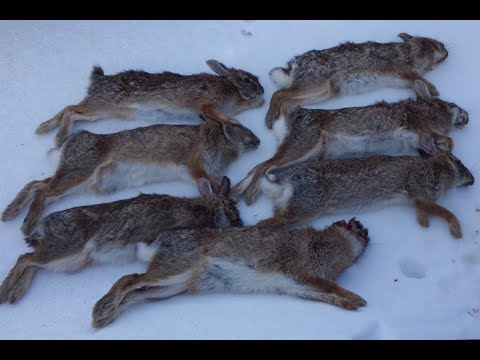 Small Game Hunting - Cottontail Rabbit Limit with Shotgun