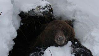 Приколы охотников  Охота в берлоге медведя  Часть 4