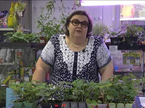 ЗЕМКЛУНИКА - уникальный гибрид садовой земляники и лесной клубники