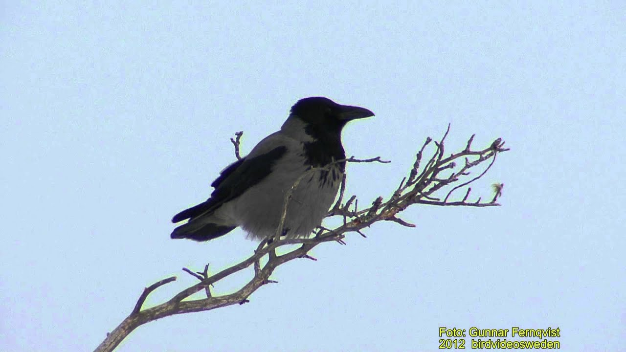 KRÅKA Hooded Crow (Corvus cornix) Klipp - 535 S - 9 - YouTube