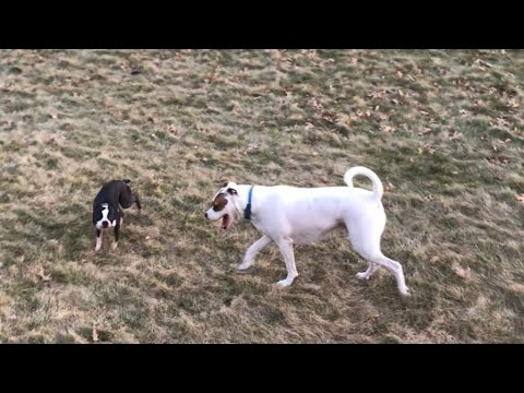 Big American Bulldog vs Small Boston Terrier mix