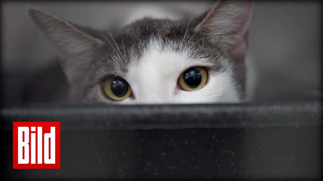 Katze klaut Mittag vom Herrchen - Essen, jump-through ( Futterneid ...