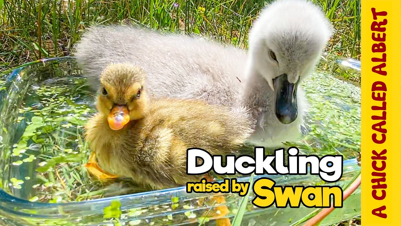 Download Duckling Thinks Baby Swan is her Mom - Ugly Duckling Opposite