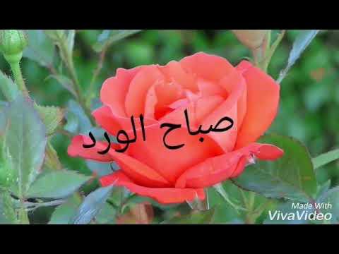 أحلى وأجمل وردة أميصباح الخير Whatsapp Videos