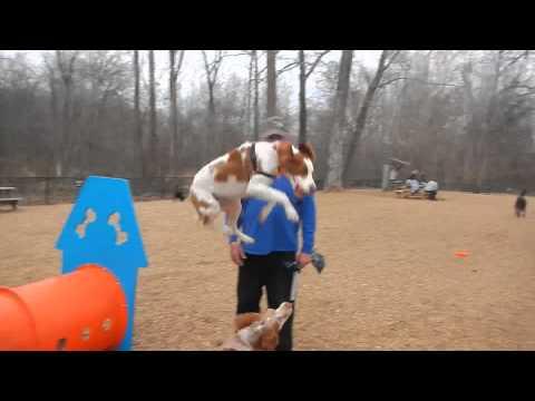 Bandit Jumping at the dog park