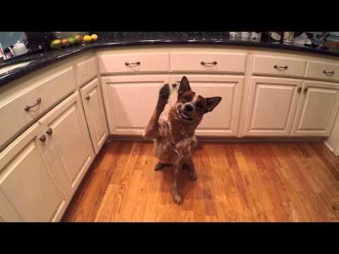 My funny and stubborn Australian cattle dog
