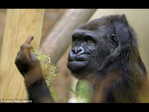 Download Youtube: Gorilla Shows Middle Finger