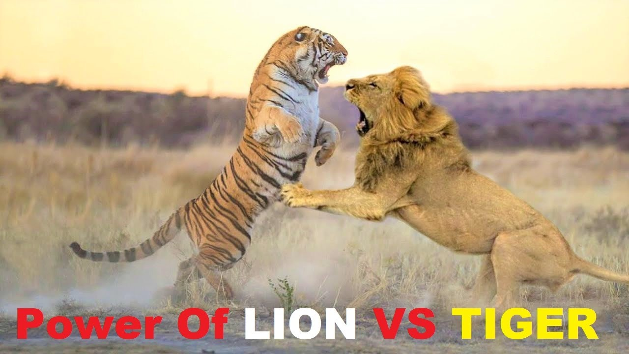Power Of Lion Lion Vs Tiger Real Fight Best Footage Youtube