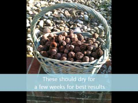 How To Clean Black Walnuts The Easy Way
