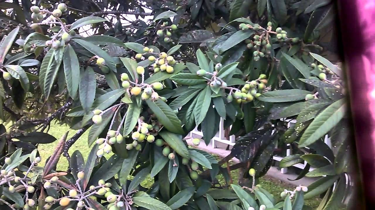 how to clean loquat leaves
