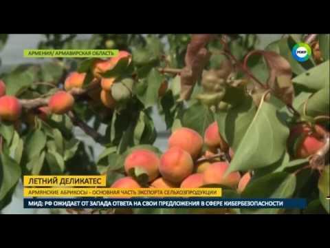В Армении собирают абрикосы