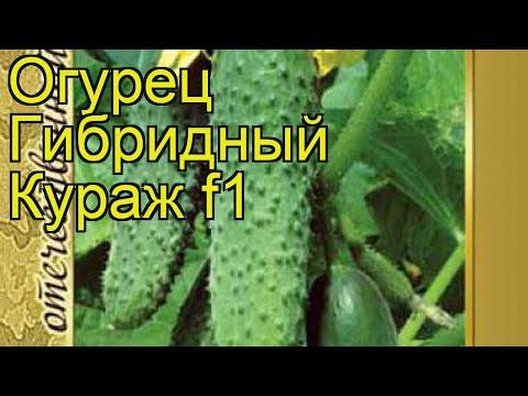 Огурец гибридный Кураж f1. Краткий обзор, описание характеристик, где купить семена Kurazh f1