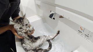 Washing Mr.Cat's body [Otter life Day 171] にゃん先輩の沐浴