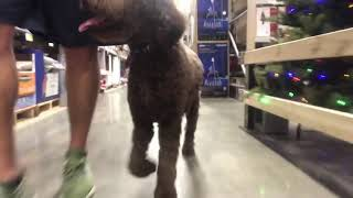 1YR Old Labradoodle Out of Sight Duration down at Cincinnati Dog Trainers Off Leash K9