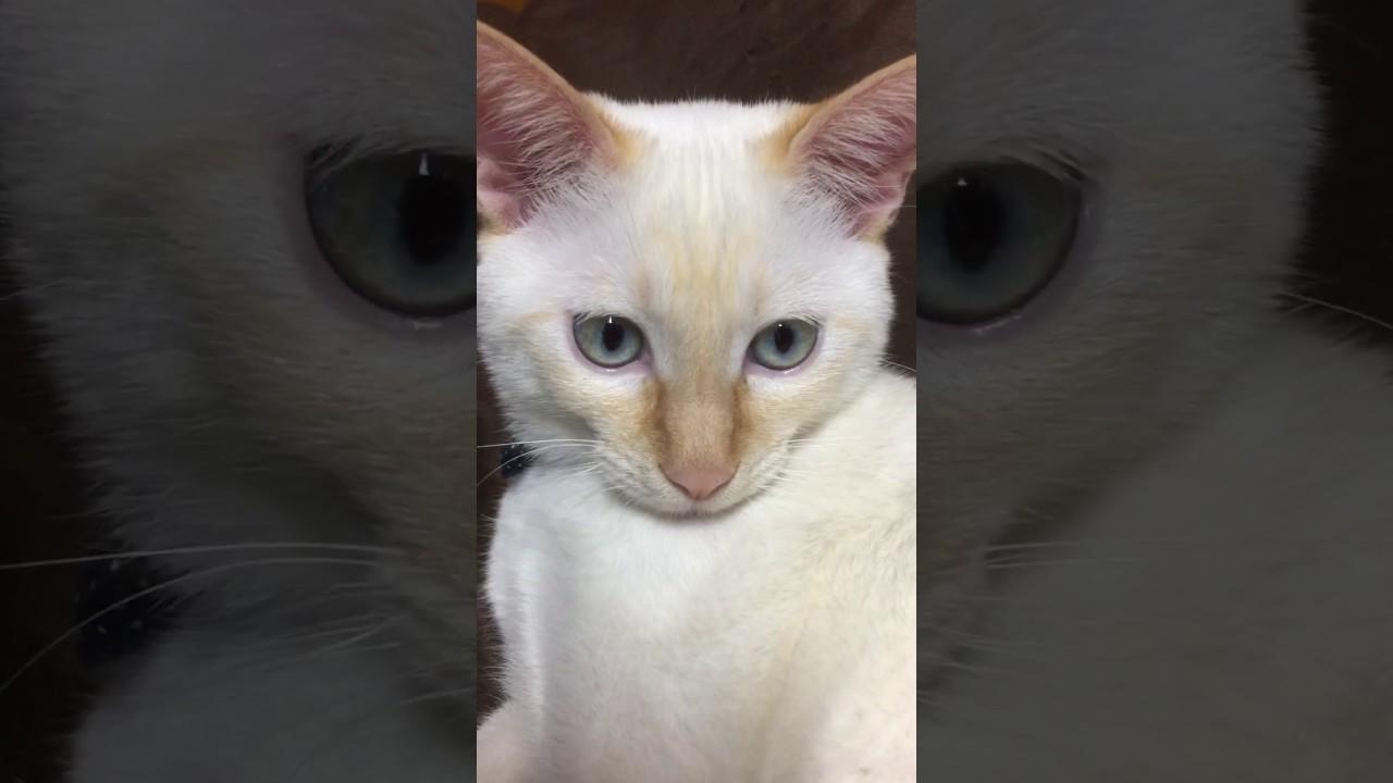シャム 猫 雑種
