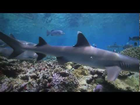Shark Conservation in American Samoa - English