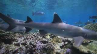 Shark Conservation in American Samoa - English