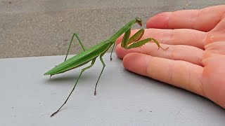 NEW PET!? - Praying Mantis