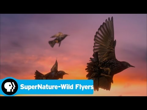 SUPERNATURE - WILD FLYERS   Inside a Giant Flock   PBS