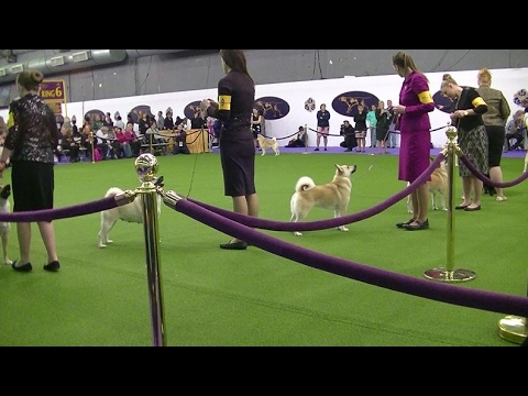 Norwegian Buhund Westminster dog show 2017