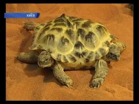 Звёздчатая сухопутная черепаха. • европейская болотная черепаха. • черепаха трионикс. Если вы хотите завести водную черепаху (красноухая, болотная,. Если вас интересуют черепахи, на petcare. Ua вы можете купить черепаху в киеве, донецке, днепропетровске, виннице, житомире, также купить.