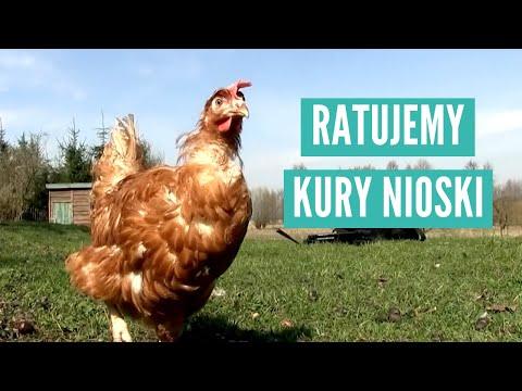 [ZOBACZ] Kury uratowane z piekła hodowli przemysłowej