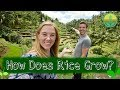 How Does Rice Grow? | Maddie Moate