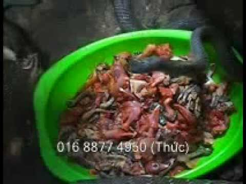 Bán giống rắn hổ trâu, ráo trâu, hổ hèo,hổ vện, hổ mang đen 01688774950(Thức)