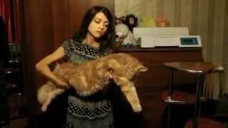 Сравнение  Кошечки  мейн-кун 2,5 года и котика  мейн-кун 5,5 мес. Питомник Лирикум