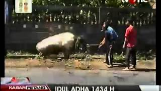 sapi mengamuk gara gara tidak mau disembelih untuk kurban idul adha