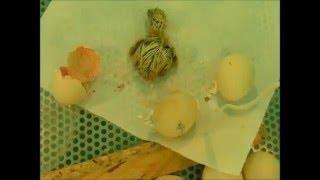 Pritlikava svilenka  (kobacanje iz jajca) I.del