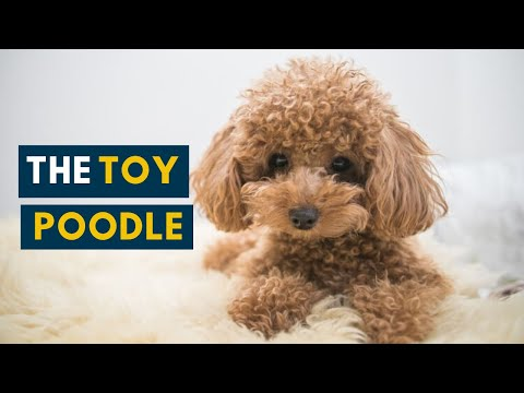 The Toy Poodle: Your Guide to This Cute, Fluffy Dog!