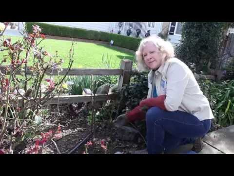 How To Prune A Hybrid Tea Rose
