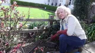 How to Prune a Hybrid Tea Rose