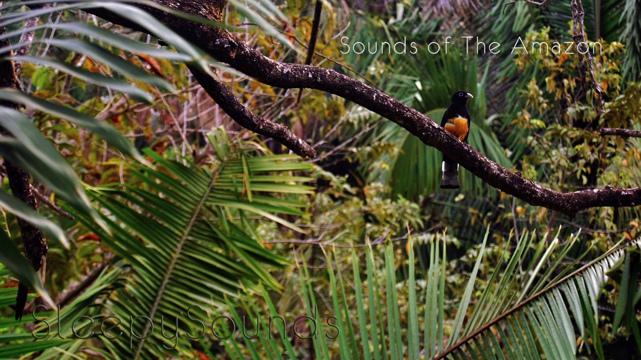 Jungle Birds and Crickets: Sounds of the Amazon – 9 Hour Soundscape for  Ambience, Sleep