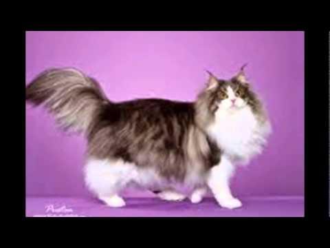 7 Ras Kucing Mahal Yang Paling Dicari Funnycat Tv