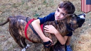 Animal heroes: pit bull saves 8-yr-old boy from deadly bee swarm