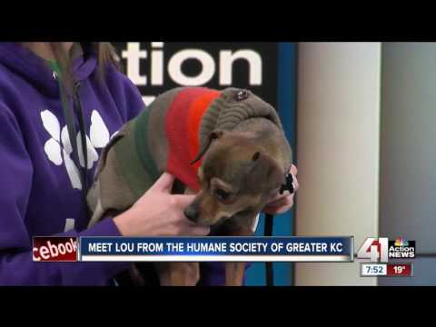Meet Lou from the Humane Society of Greater Kansas City