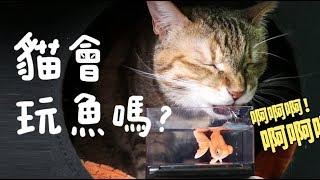 黃阿瑪的後宮生活-貓會玩魚嗎