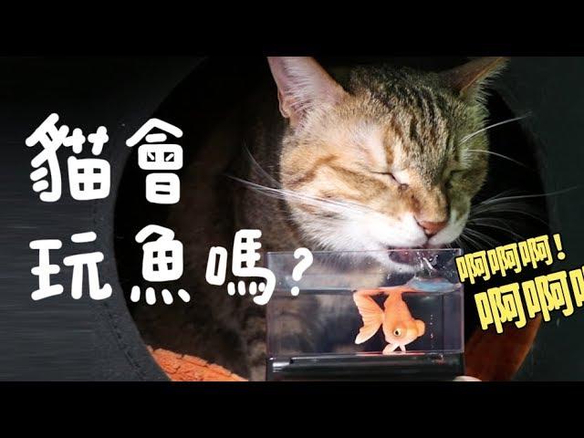 【黃阿瑪的後宮生活】貓會玩魚嗎?