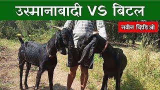 उस्मानाबादी व बिटल जातीतील फरक | Usmanabadi vs Beetal 🔥🔥🔥