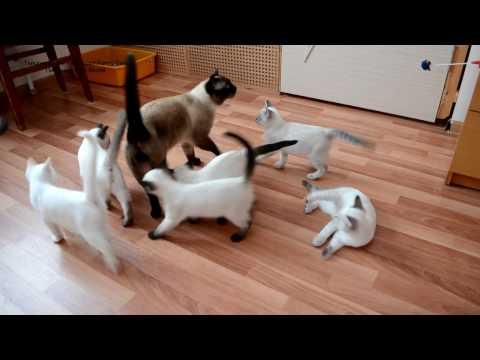 Как тайские котята встречают папу кота Оскара! Тайские кошки - это чудо! Funny Cats