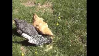 Rabbits And Chickens And Ducklings-oh My