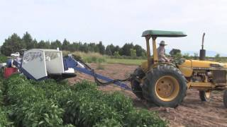 Green Chile Harvesting Machine May Offer Some Hope For Industry To Rebound In NM