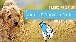 Norfolk and Norwich Terrier  Breed, Temperament & Training