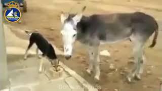 موقف مضحك جدا بين الحمار والكلب